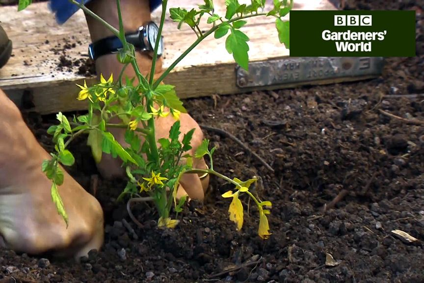 Monty Don Shows How To Plant Out Young Tomato Plants And Explains The Differences Between Bush Cordon Varieties In This Video On Gardenersworld