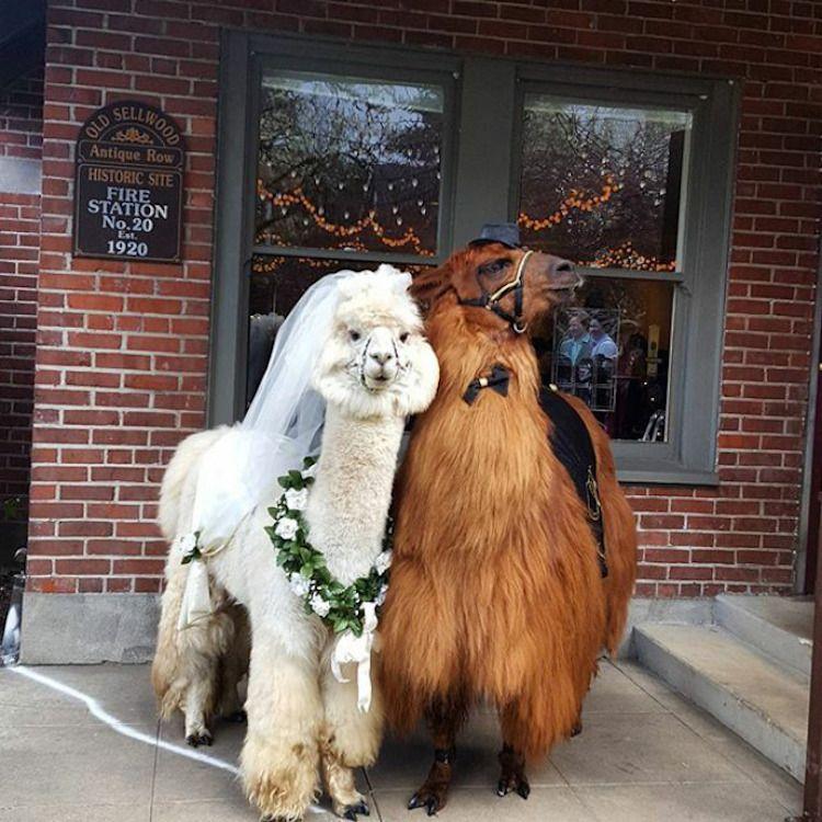 You Can Now Invite Adorable Llamas And Alpacas To Your Wedding