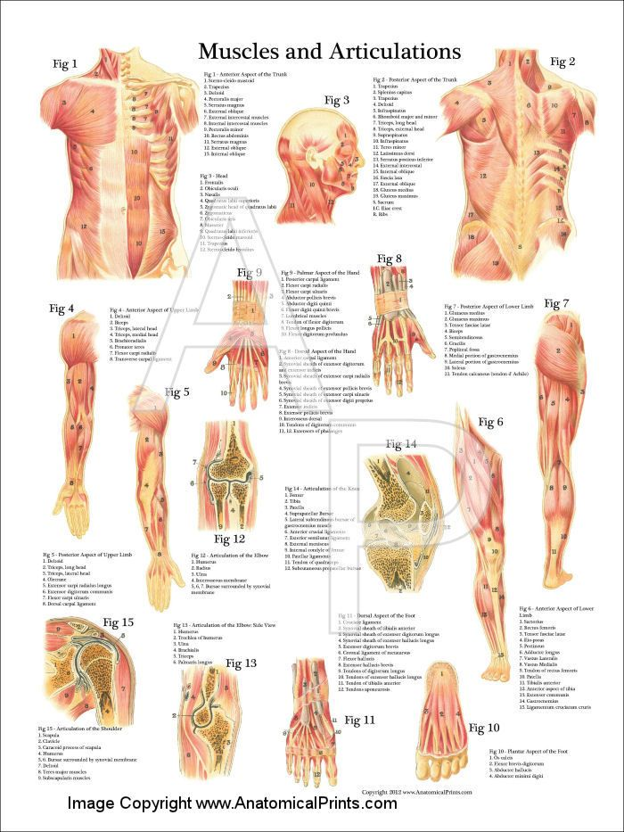 Muscles and Articulations Anatomy Poster 18\