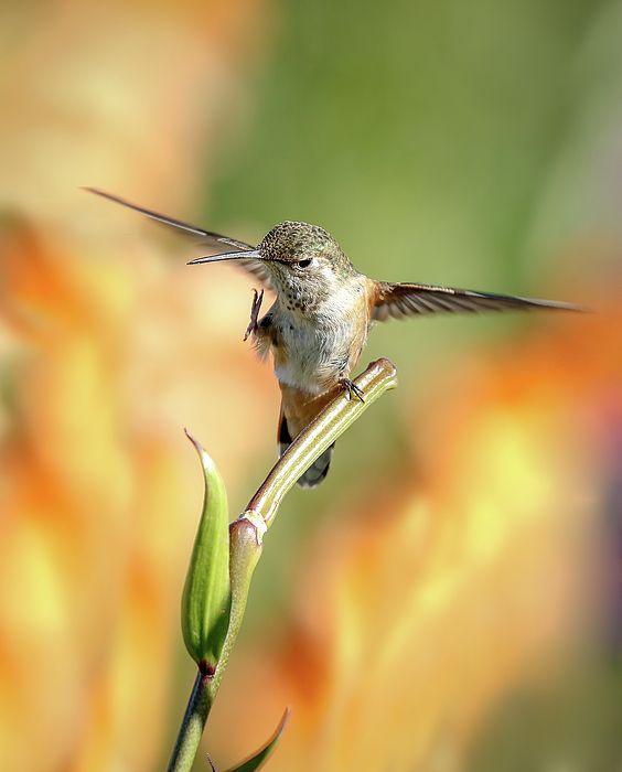 Hummingbird Flutter Art Prints Art Athena
