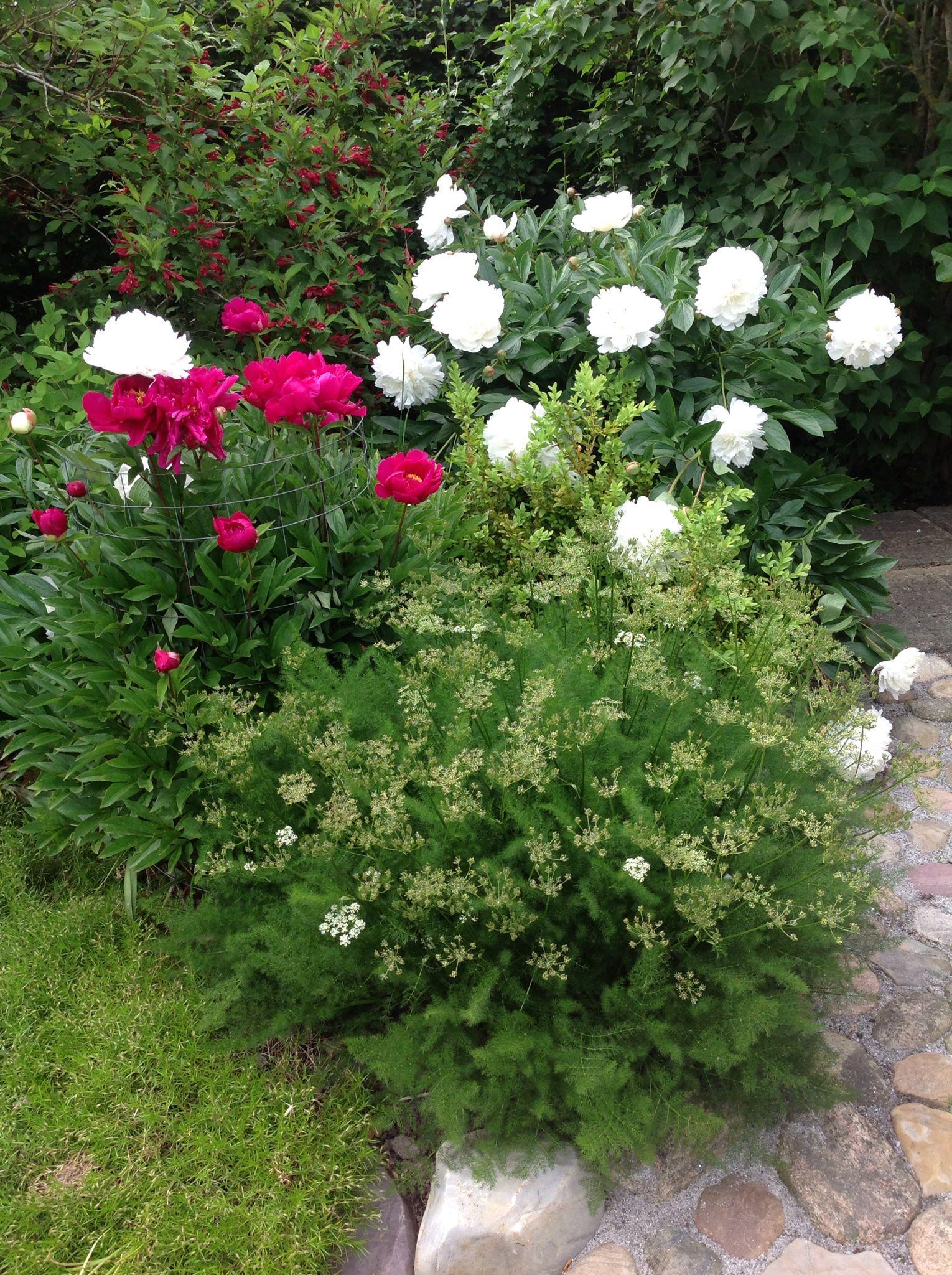 Blomstereksempler rundt fra haven og de forskellige bede. Her pæoner ...