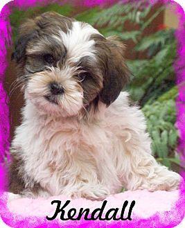 Adopted Anaheim Hills Ca Shih Tzu Meet Kendall A Puppy For