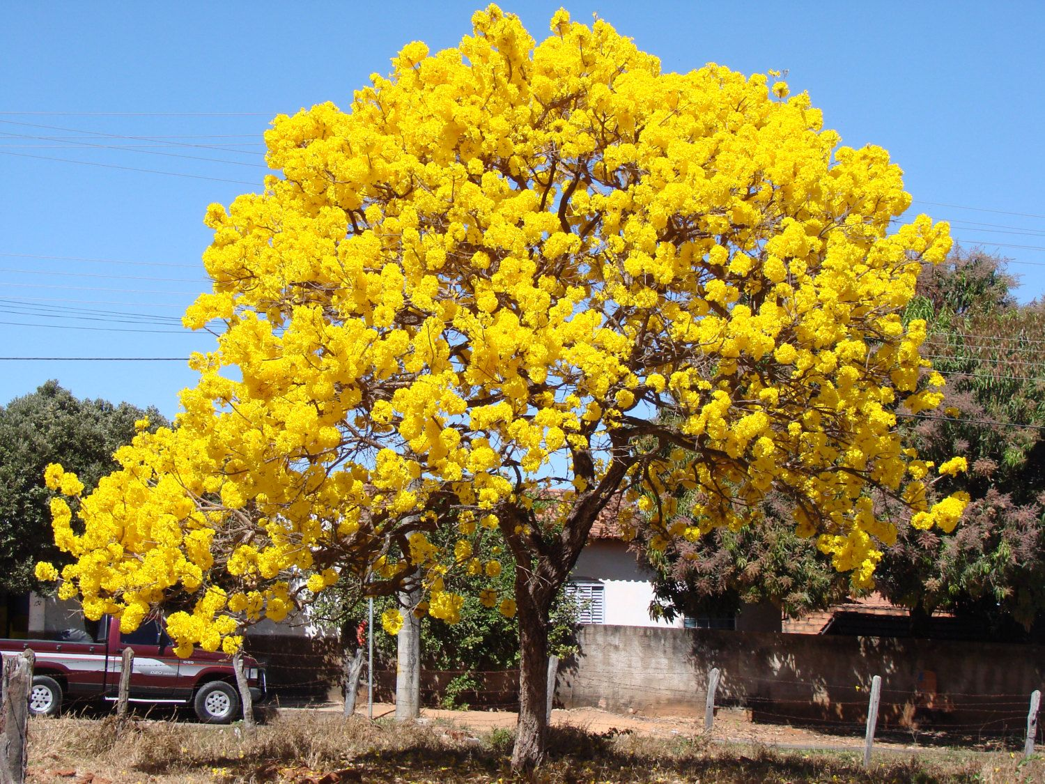 25 seeds tabebuia caraiba sillver trumpet by simbalovesfriends 25 seeds tabebuia caraiba sillver trumpet by simbalovesfriends silver trumpetjacaranda treesflower mightylinksfo Images