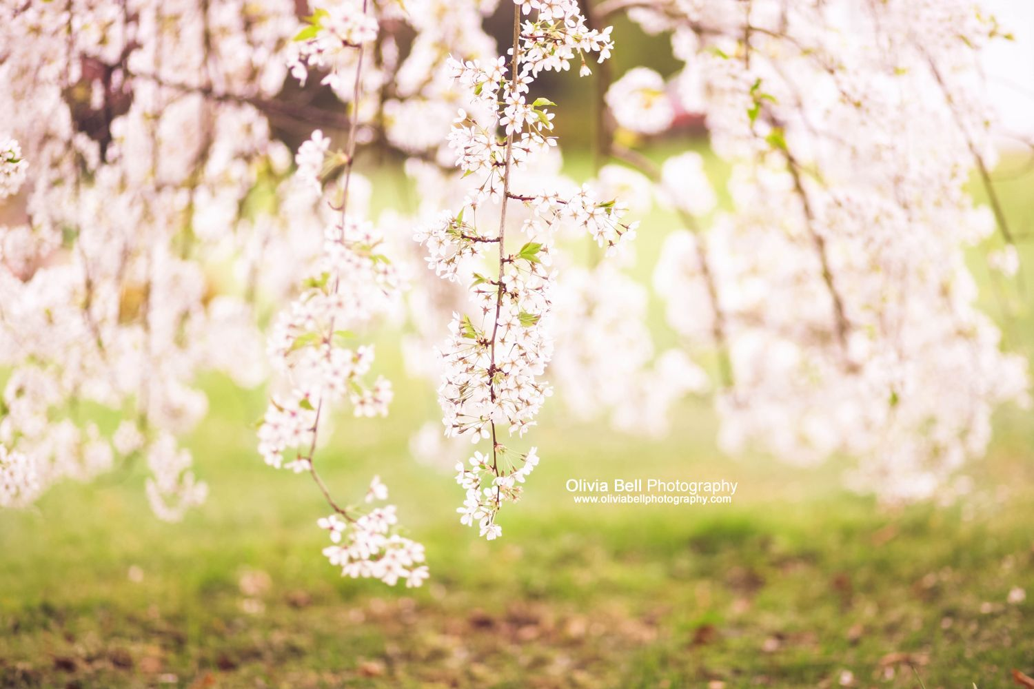 Weeping Cherry Blossom. Available as Wall Art (Canvas, Poster ...