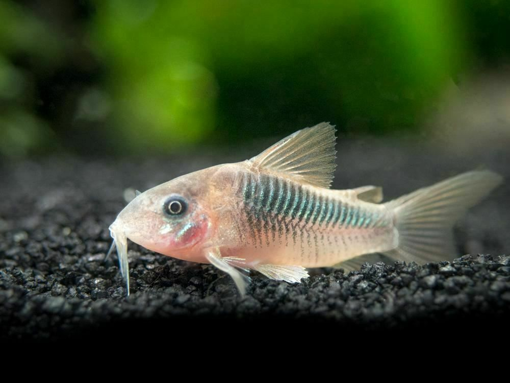 Pin On Cory Catfish