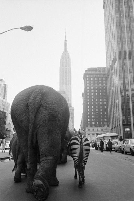 elephants & zebra walking down the street.