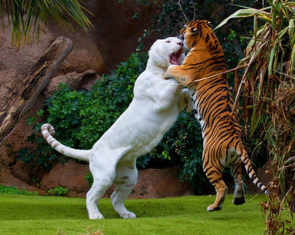 Liger vs tiger, fight! [Amazing Photo of the Day] Funny