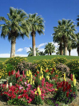 Petunias and antirrhinum flowers desert palm springs california petunias and antirrhinum flowers desert palm springs california usa mightylinksfo Images