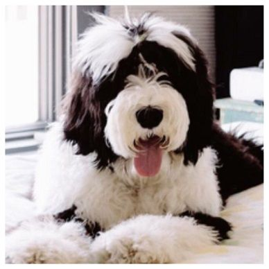 Sheepadoodle Puppies Sheepadoodles Sheepadoodle Dogs Its A
