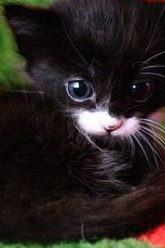 Chirstmas kitten