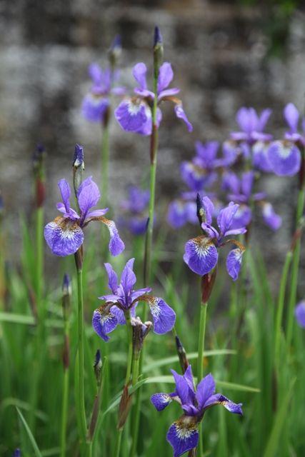 Iris Sibirica Tycoon Rhizome Plants Crocosmia
