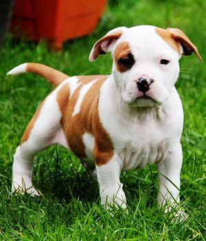 American Staffordshire Terrier Price Temperament Life Span
