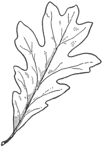How To Draw Oak Leaves With Step By Step Drawing Lessons