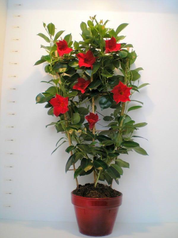 cultiva dipladenias en tu jardín | cultivar, plantas y macetas