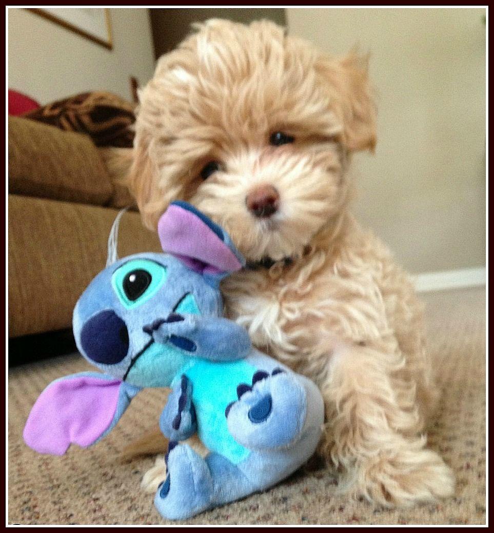 Apricot Toy Maltipoo Google Search Maltipoo Puppy Maltipoo
