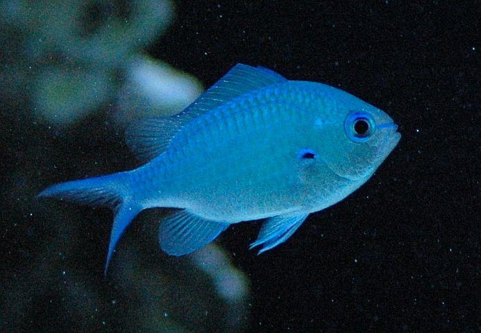 Blue Green Chromis Damsel Damselfish Gallery Blue Green Saltwater Aquarium Saltwater Tank