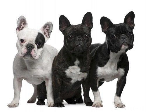 Details About French Bulldogs Sitting 3 Vary Black White 12
