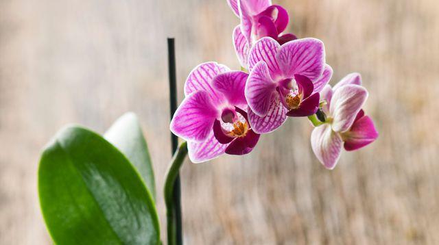 entretien orchid e arrosage floraison orchid e. Black Bedroom Furniture Sets. Home Design Ideas