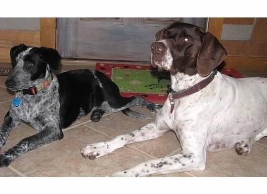 Lostdogs 1 24 14 Huntsville Ut Male Germanshorthairpointer Female Australianshepherd Blueheeler 801 678 7959 H Losing A Dog Losing A Pet German Shorthair