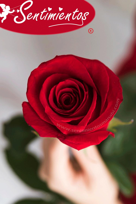 Significado De La Rosa Roja Rose Plants Flowers