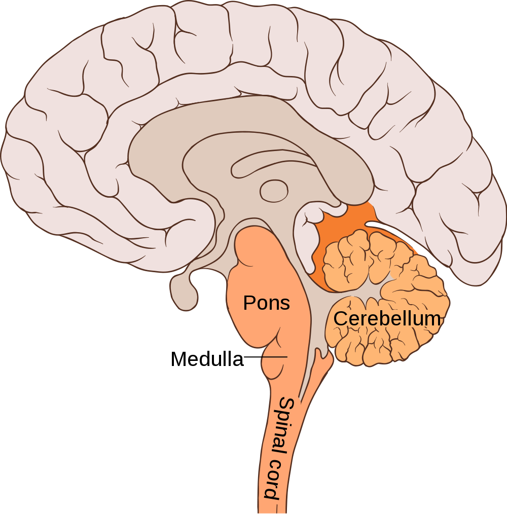 Lower half of the brain stem. The medulla contains the cardiac ...