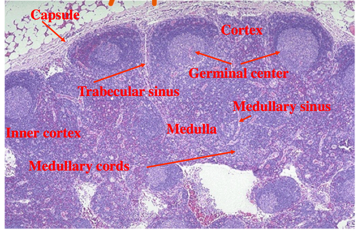 Histology - Lymph Node | Histology - Lymphatic System and Immunity ...