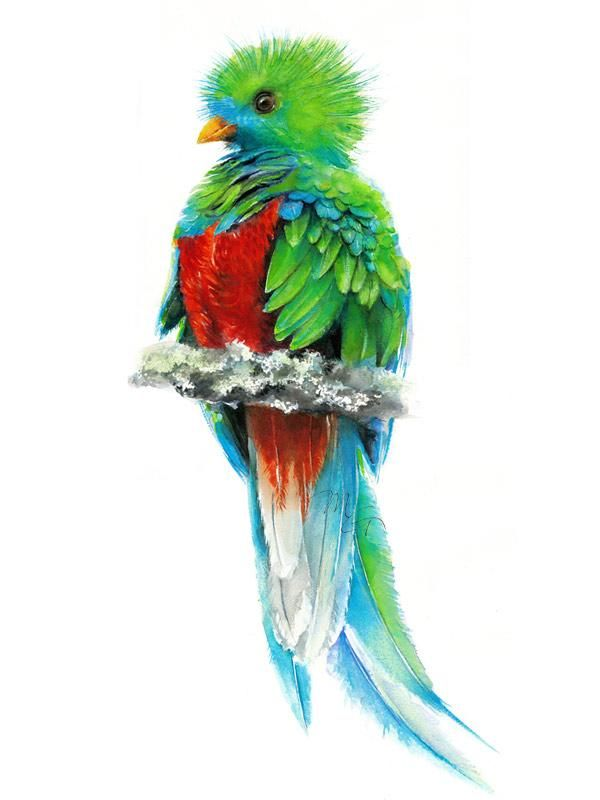 Quetzal Paradise Bird Watercolor Archival Print