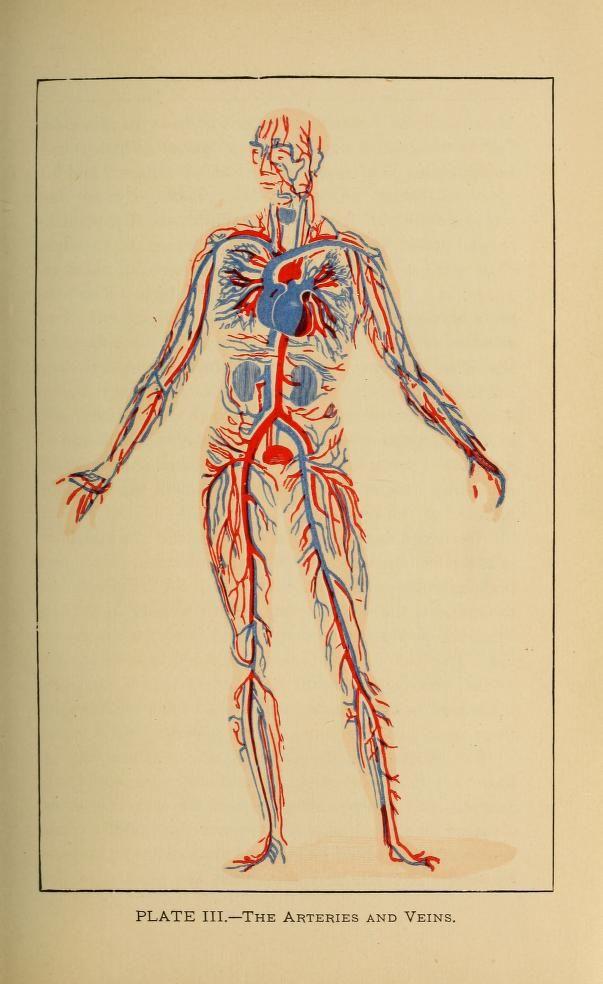 Tabla sobre las arterias y las venas de John Harvey Kellogg \