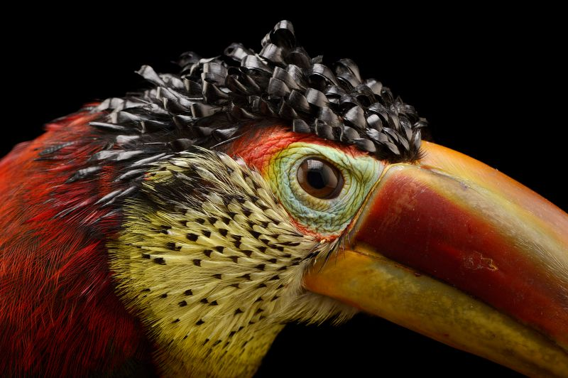 """""""The curlcrested araçari is a species of toucan endemic"""