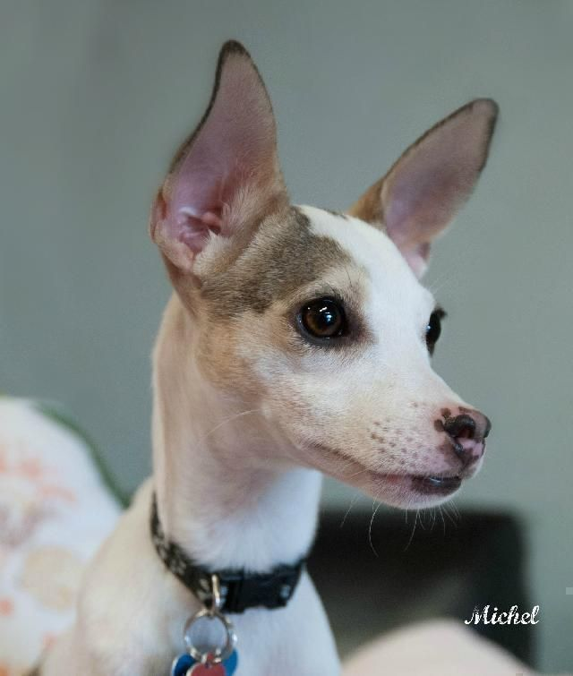 Please Help Finley He Is A 1 Year Old Italian Greyhound Mix At