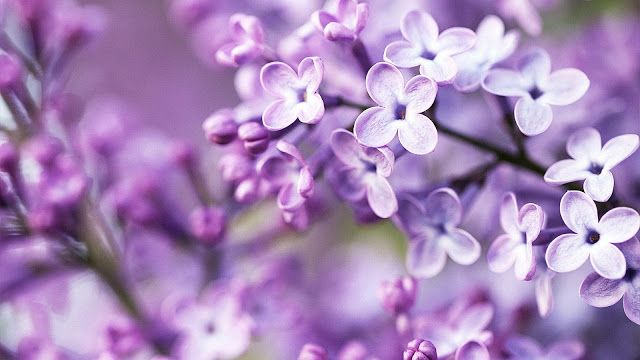 Pin By Medina Mujagic On Photography Spring Flowers Wallpaper Purple Flowers Wallpaper Purple Flowers
