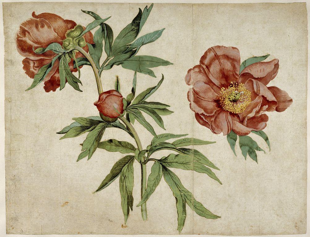 Pfingstrosen, 1472/3, by Martin Schongauer (ca. 1450/3-1491)