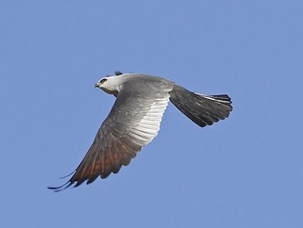 Mississippi Kite 5/5/14 Lee State Park, SC