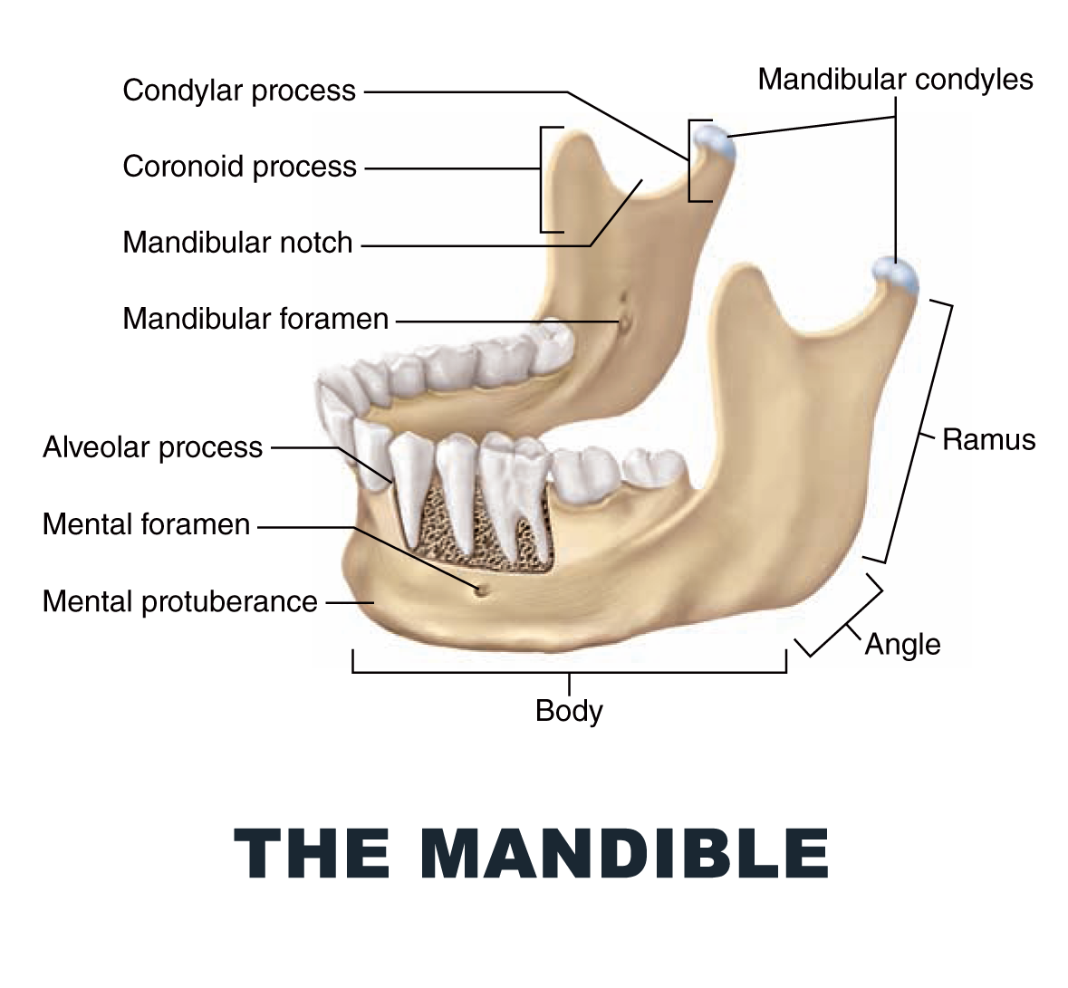 The Mandible - #anatomy images illustrations #anatomy images ...