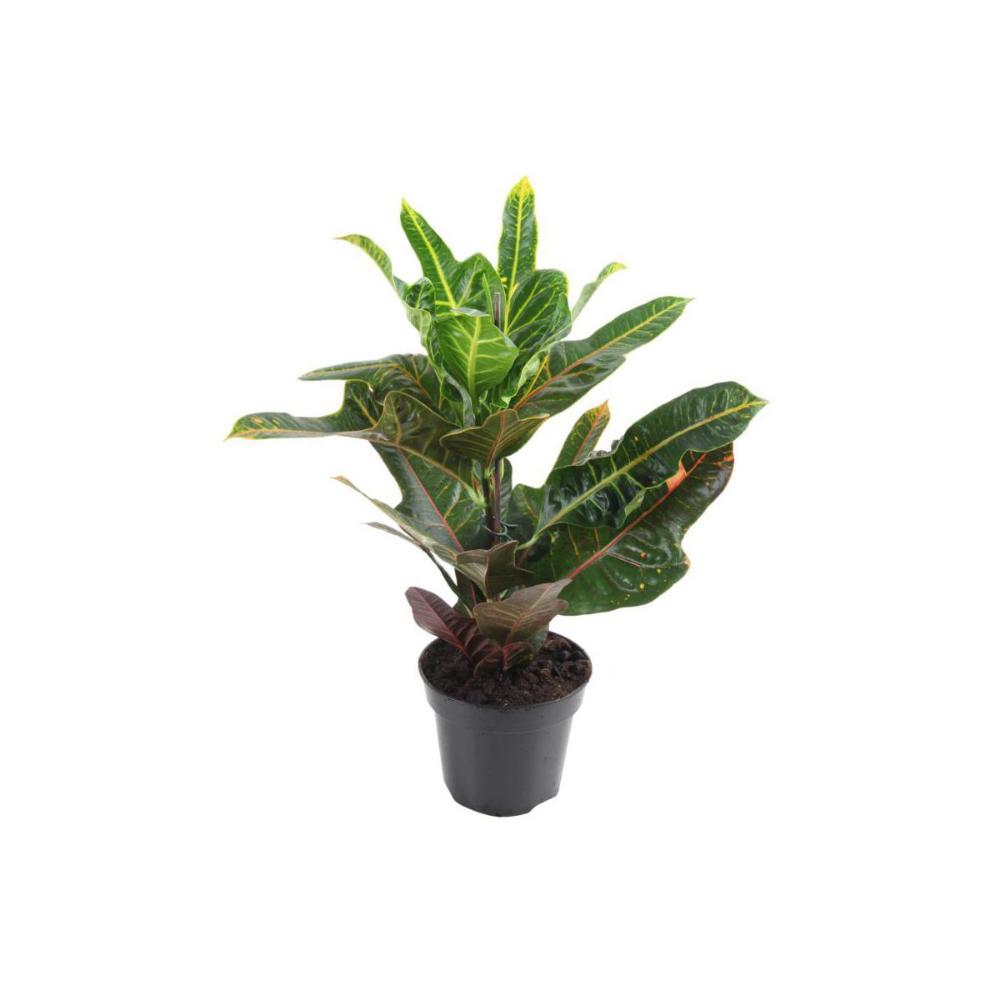 Kroton Trojskrzyn Mix 65 Cm Kwiaty Doniczkowe W Atrakcyjnej Cenie W Sklepach Leroy Merlin Cactus Plants Plants Cactus