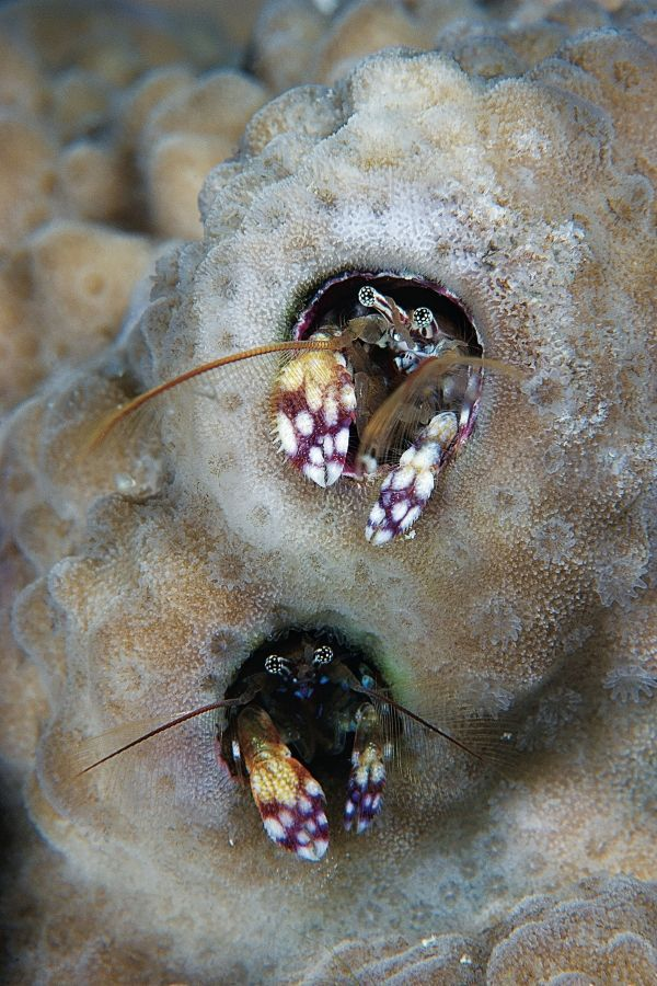 CORAL HERMIT CRABS  These tiny coral hermit crabs are each the size of two grains of rice.