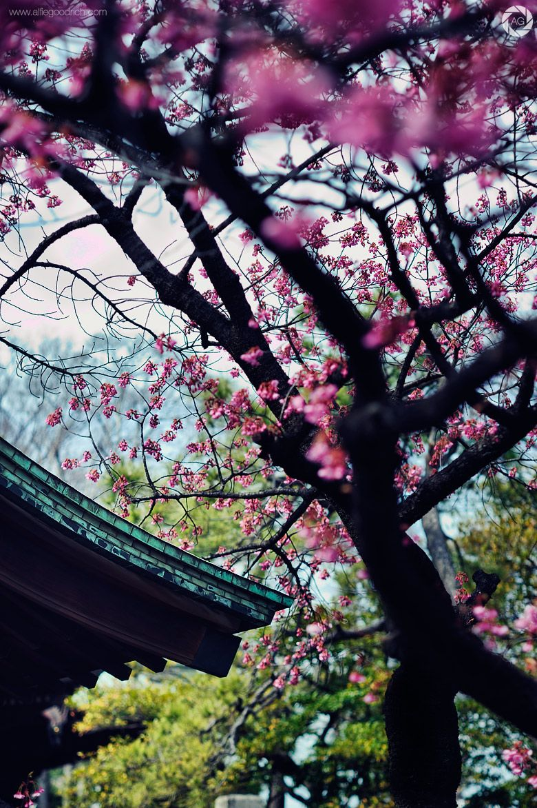 The Blossom is Coming: Ebara Shrine, Shinbanba, Tokyo #alfiegoodrich