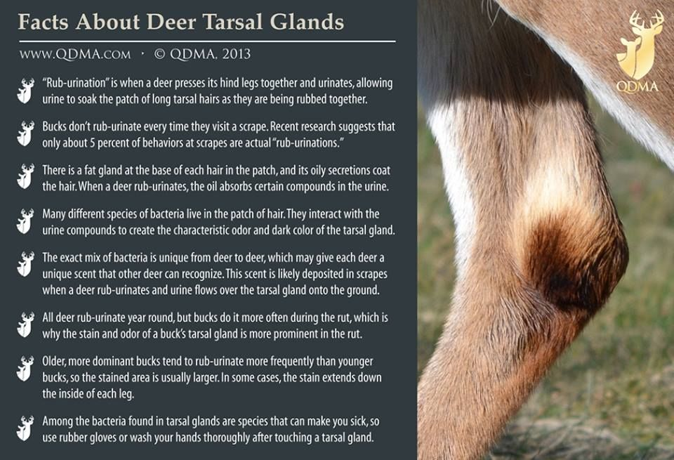 Tarsal Glands Qdma