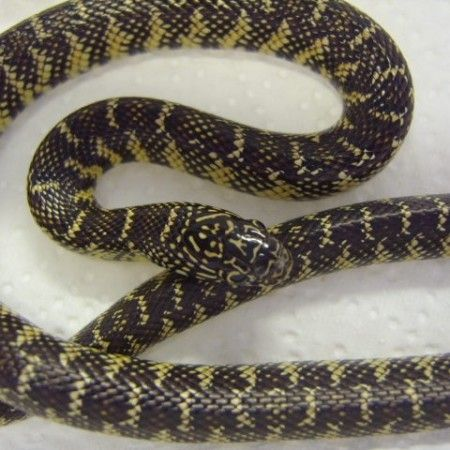 Brooks King Snake For Sale at Voracious Reptiles Snakes