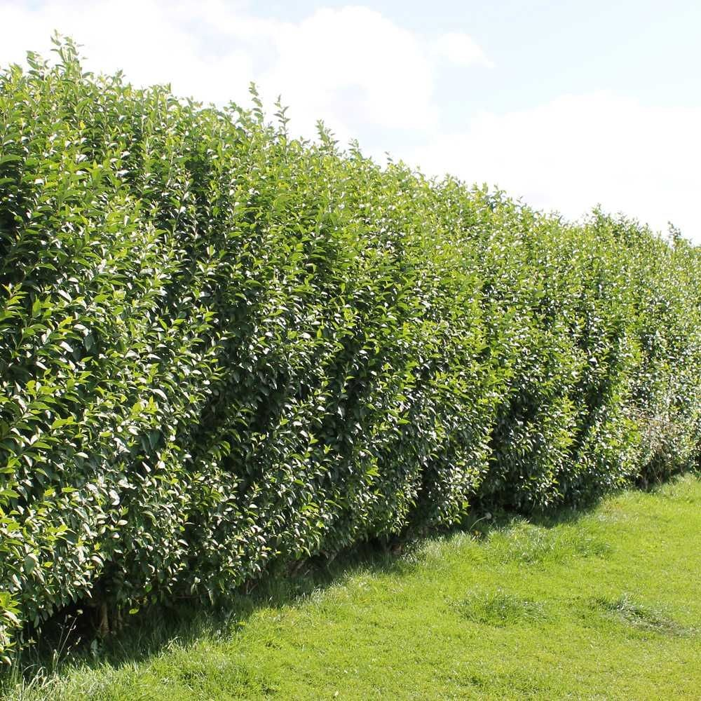 Privet Hedge Plants for along fence