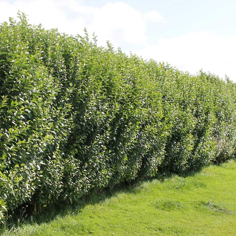 Privet Hedge Plants for along fence