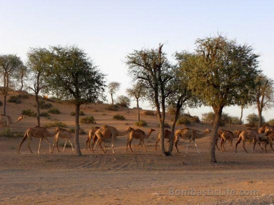 Camels at Banyan Tree Al Wadi in Ras al Khaimah, UAE