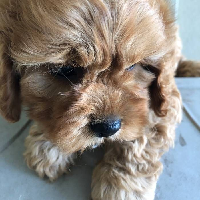 Cavoodle Cavoodle dog, Puppies, Dogs for sale