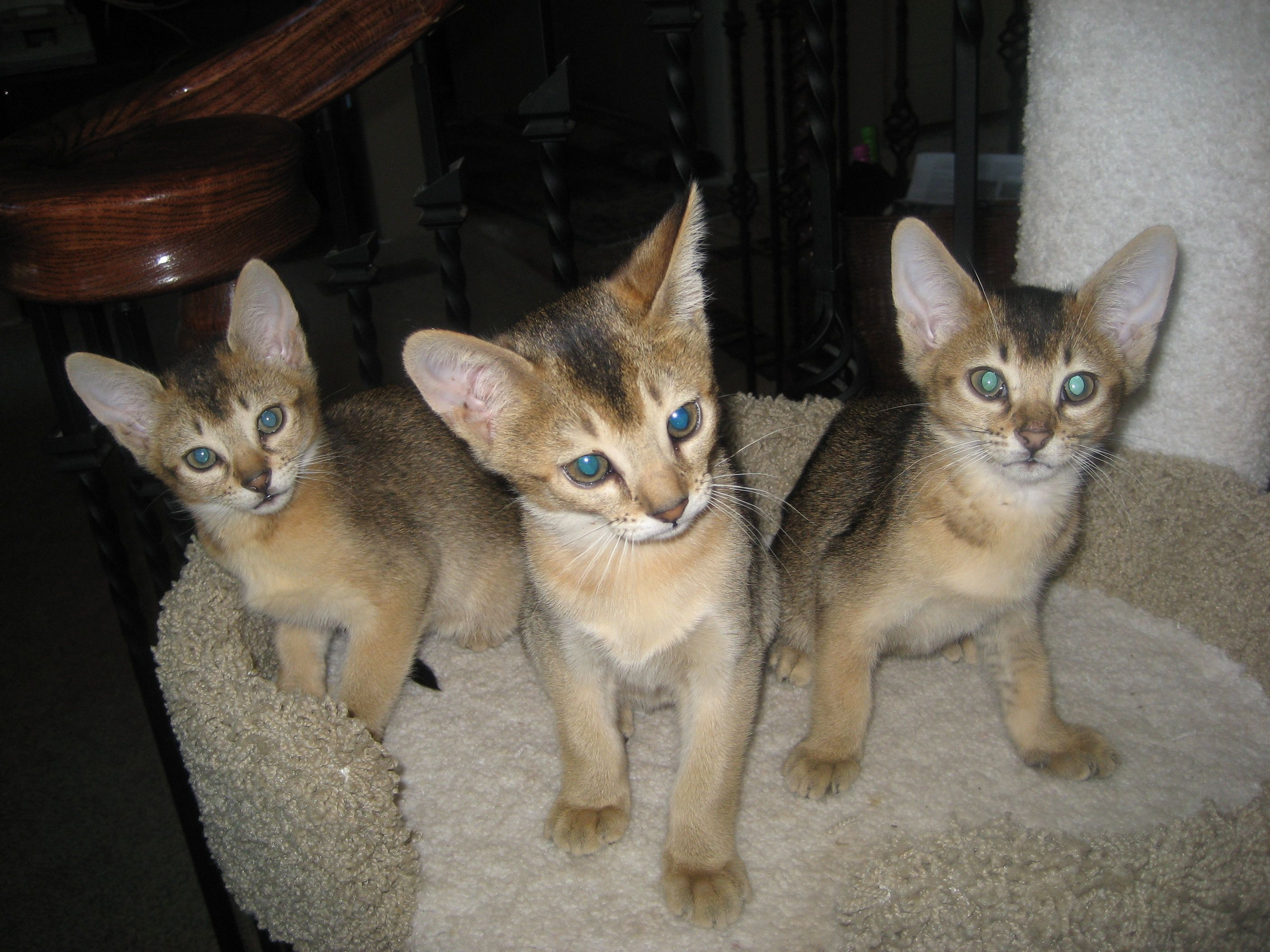 Chausie Kittens Chausie Cats And Kittens Pinterest