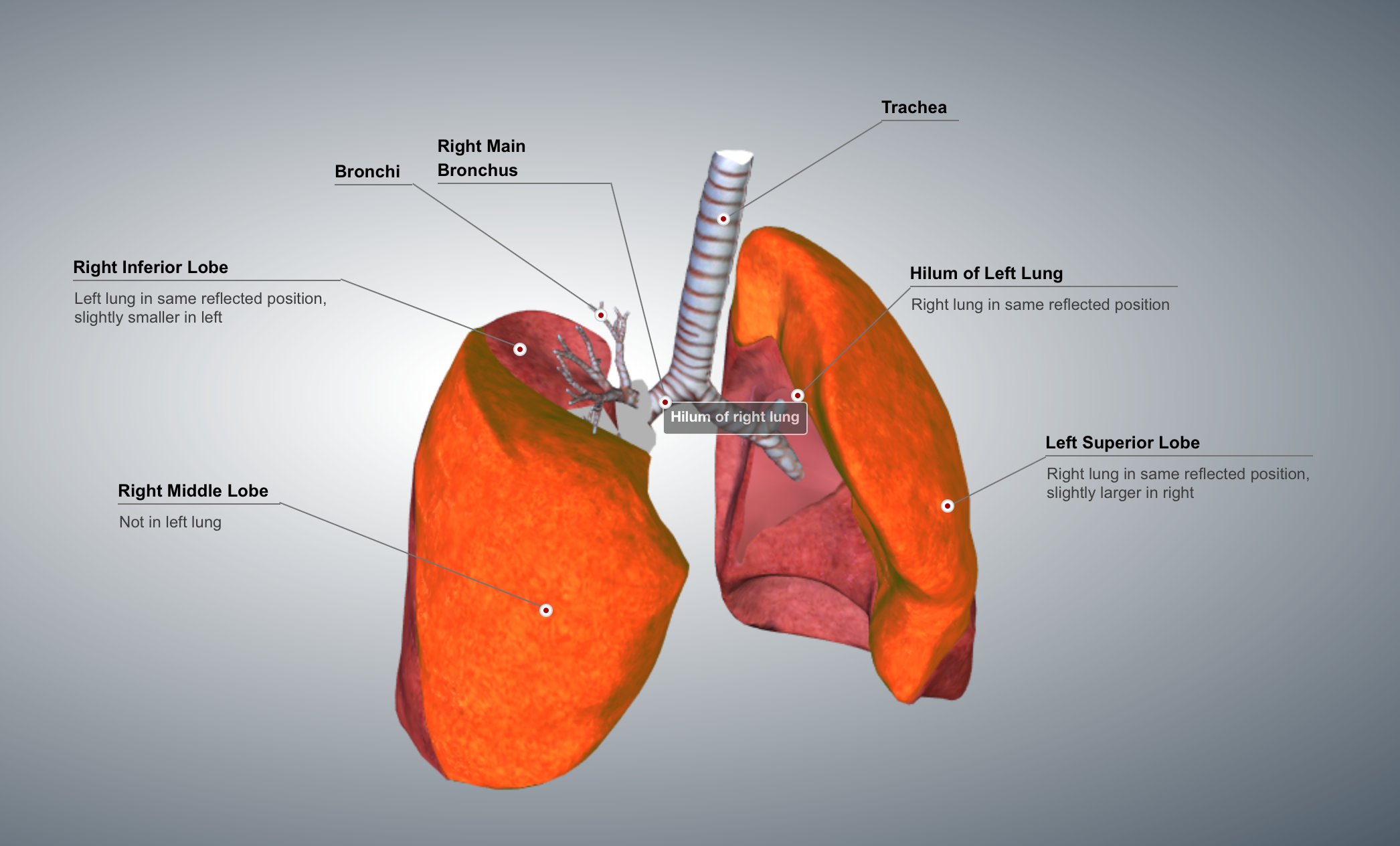 respiratory system, ignoring oral mocosa and sinuses   pinterest