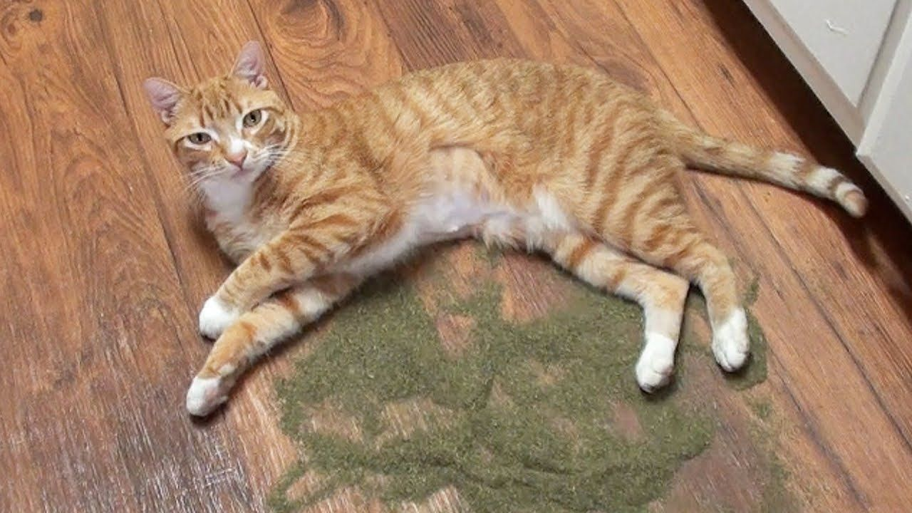 What Does Catnip Do To Cats Cat Anatomy Cats And Kittens Cat Purr