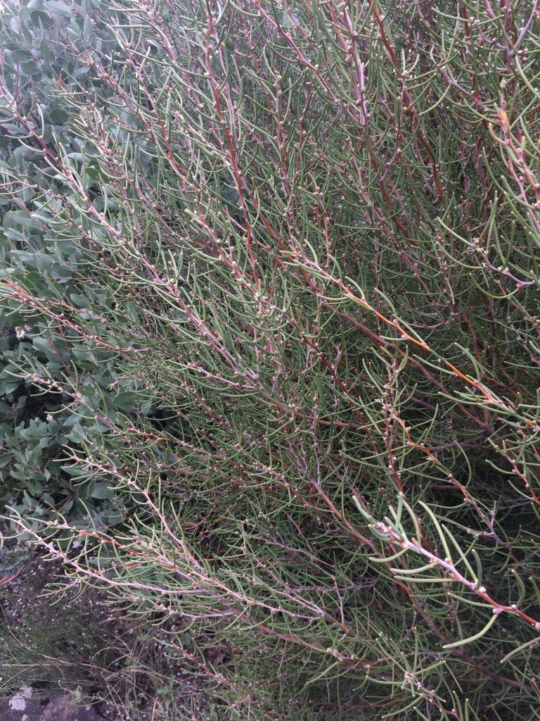 Hakea epiglottis xera plants plants pinterest plants shrubs