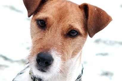 Pablo Ein Jack Russell Terrier Aus Dem Tierheim Wiesbaden Sucht Ein Neues Zuhause Helft Ihm Und Teilt Diesen Beitra Tierheim Terrier Jack Russell Terrier