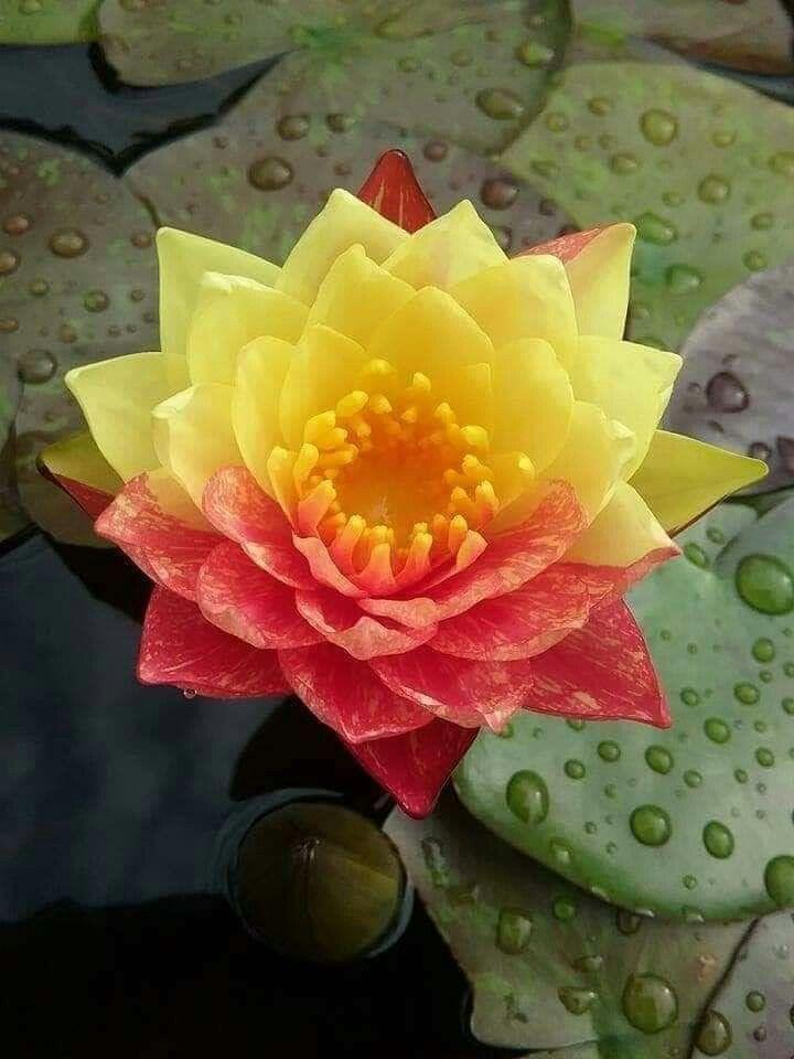 Pin di Mona Moni su Lotus nel 2020