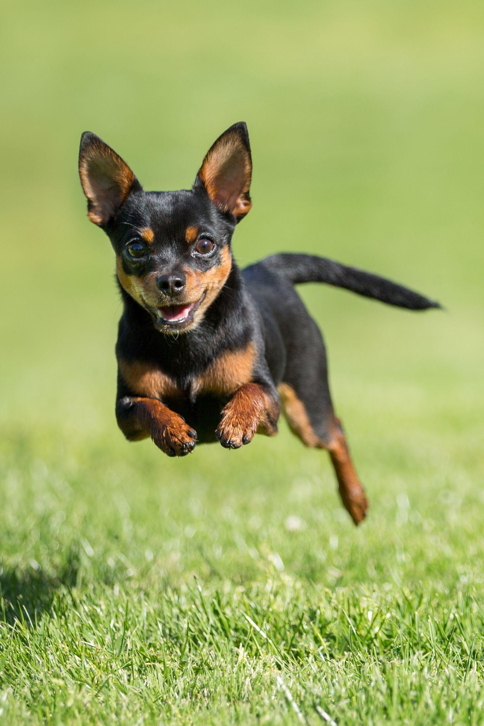 Chihuahua Temperamental Hard To Train Toy Dog Breeds Miniature Dog Breeds Dog Breeds